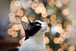Black White Cat with Holiday Lights