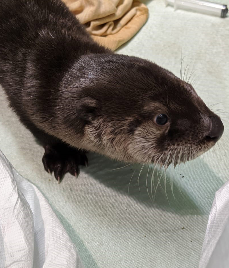 Photo of Otter Pup