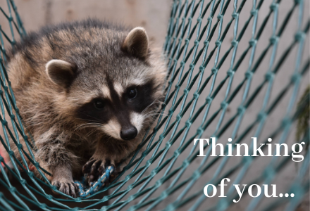 Wild ARC Raccoon - thinking of you