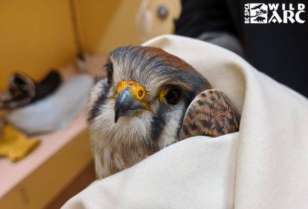 Hawk in care at Wild ARC
