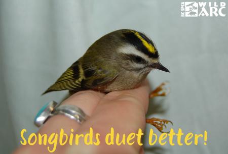 Song Birds duet better!
