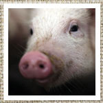 Click here for more information about Piglet