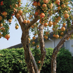 Click here for more information about Fruit trees