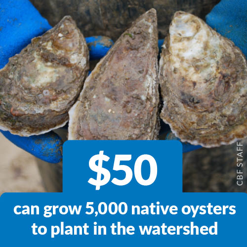 $50 can grow 5,000 native oysters to plant in the watershed