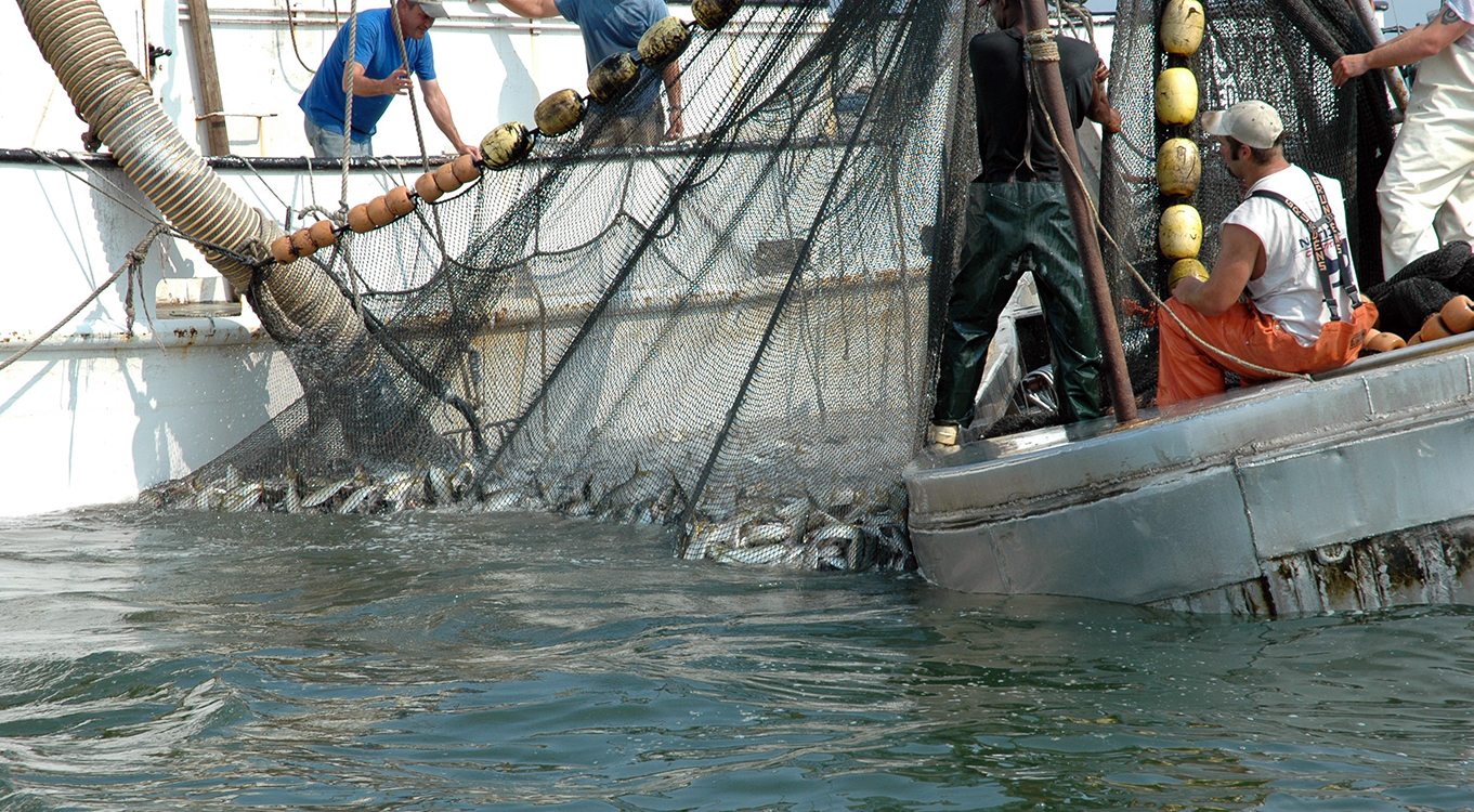 Photo of commercial fishing of menhaden