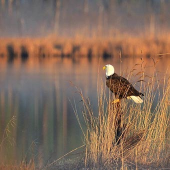 A bald eagle sits on a log beside a stream.
