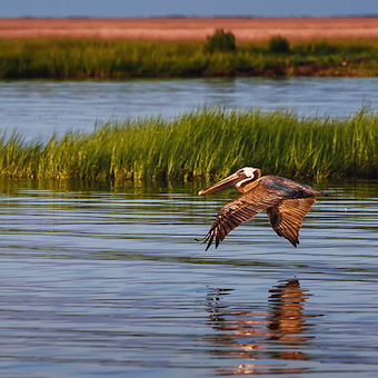 A pelican flies above marshland.
