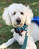 Bodhi Headshot Pet Therapy Companion