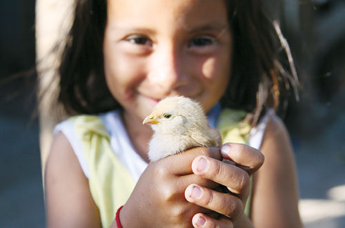 100 chicks to provide eggs