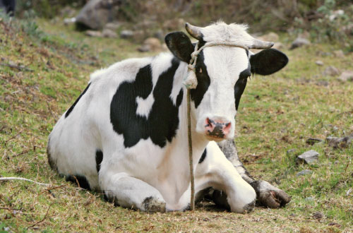 A cow for a poor family
