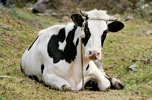 A cow for a family