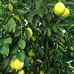 Click here for more information about 2018/02/10 - Citrus Tree Care