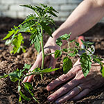 Click here for more information about 2018/01/20, 01/24, 01/27 - Introduction to Food Gardening (3-Class Series)