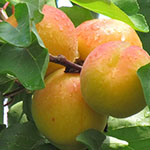 Click here for more information about 2018/02/03 - Winter Fruit Tree Care