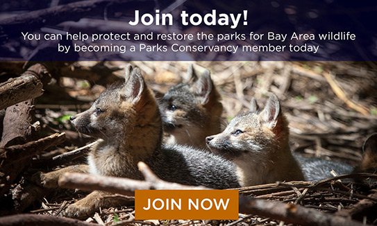 Join today! You can help protect and restore the parks for Bay Area wildlife by becoming a Parks Conservancy member today