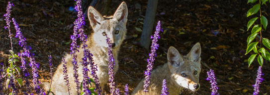 Two local coyotes