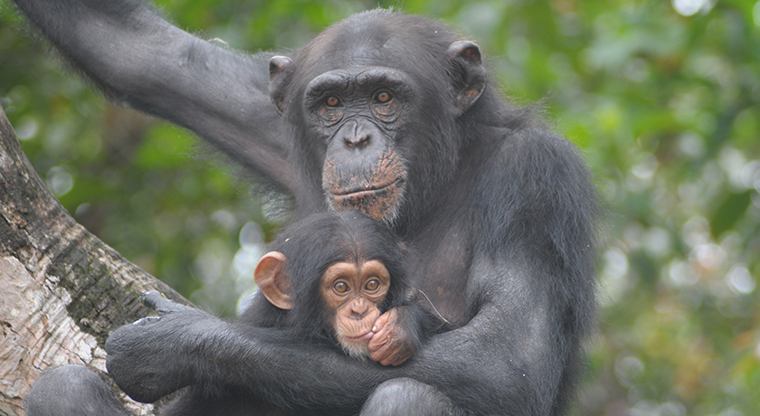 A baby chimpanzee in Liberia. Photo by Jenny Desmond/For The HSUS.