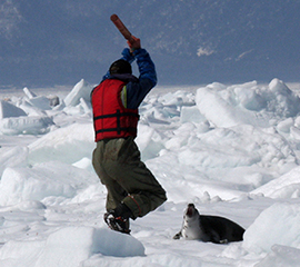 HSI seal hunt