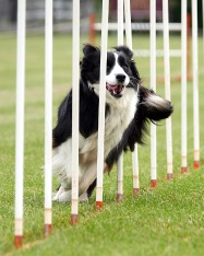 Border Collie in Weave polls