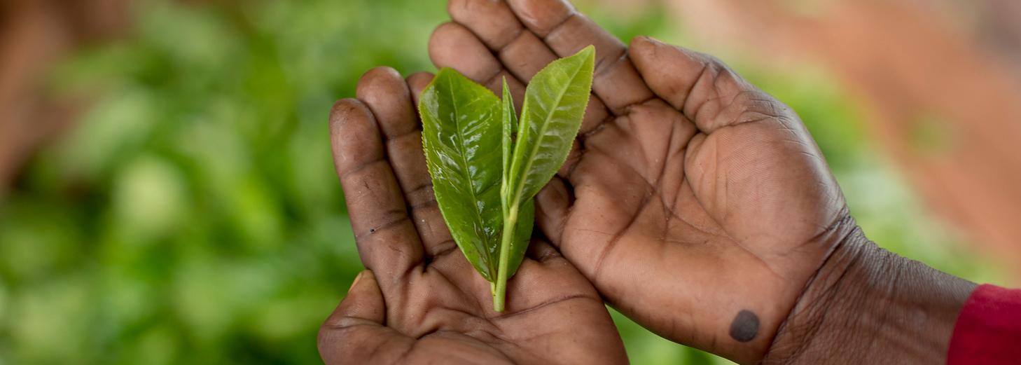 People, Planet Profit:  The Impact of Rainforest Alliance Certification