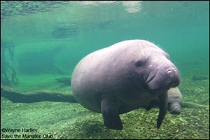 Lesley the manatee