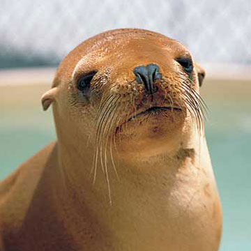 Adopt Arrow, a California sea lion