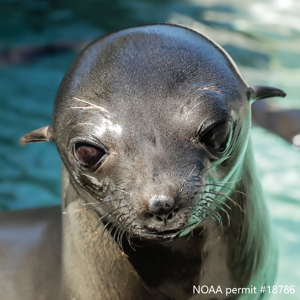 Guadalupe Fur Seal Neshema, Patient of the Year