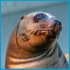 Steller sea lion Smores, Patient of the Year