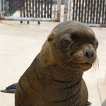 Click here for more information about Adopt-A-Seal - Astro