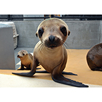 Click here for more information about Blank Sea Lion Pup Card
