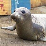 Click here for more information about Adopt-a-Seal® - Bilbo