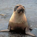Click here for more information about Adopt-a-Seal® - Cueball
