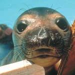 Click here for more information about Adopt-A-Seal® - Megan