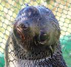 Click here for more information about Adopt-A-Seal - LilaRach
