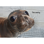 "Click here for more information about ""I'm Sorry"" Elephant Seal Card"