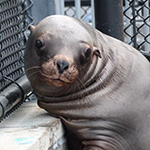 Click here for more information about Adopt-A-Seal - Leo