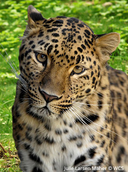 Help save big cats