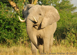 Help save elephants