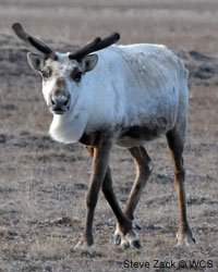 Save caribou and other Arctic wildlife