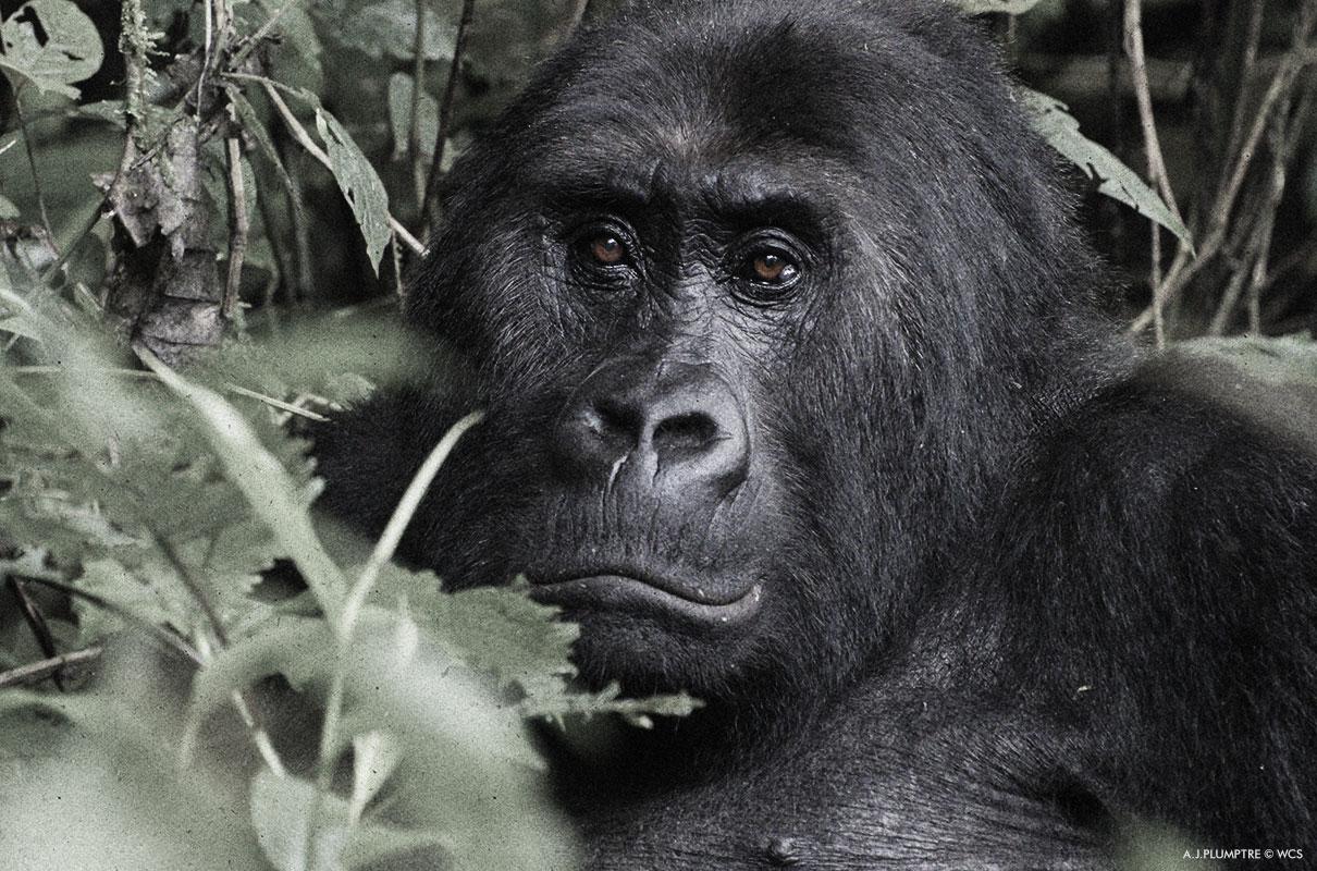 Adult Grauer's Gorilla