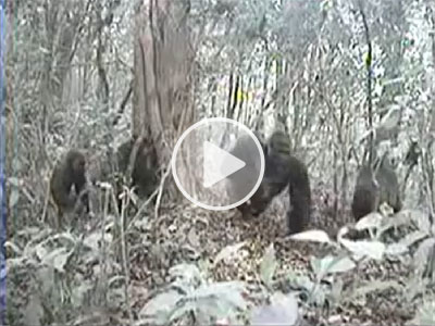 Watch the camera trap video of Cross River gorillas