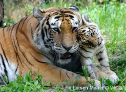 Help save tigers