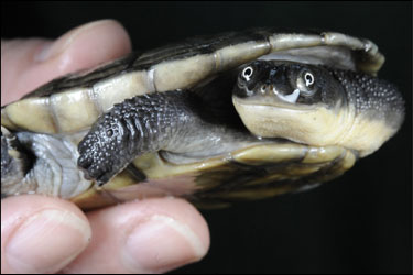Tell Congress to Save Turtles