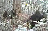 Video Captures Hidden World of Gorillas
