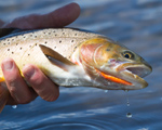 Yellowstone Cutthroat Trout, photo by Matt Ludin